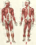 Мышца человека – Строение мышц человека — схема, фото