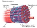 Мышечная гипертрофия это – Мышечная гипертрофия — виды и механизм развития