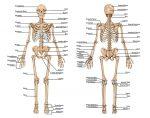 Скелет и мышцы человека – скелет и мышцы. Мышечный скелет человека. Кости и мышцы