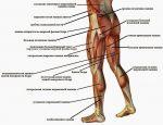 Анатомия мышцы ног картинки – Блог в помощь тренирующимся с отягощениями: Анатомия в картинках