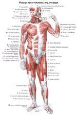 Мышцы человека и их функции – Строение мышц человека — схема, фото