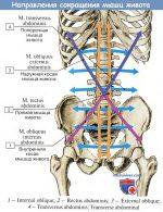 Мышцы живота таблица – 28. Анатомия мышц живота, их топография, функции, кровоснабжение и иннервация. Влагалище прямой мышцы живота. Белая линия.